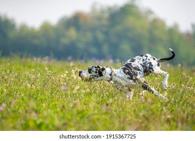 Harlequin Great Dane is running fast in a field full of flowers. Goofy dog making funny faces