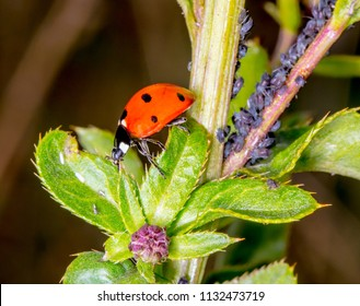 Harlequin ladybird (Coccinellidae) adult eating aphid. Predatory beetle in family Coccinellidae feeding on blackfly