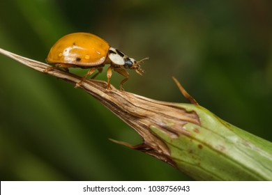 Harlequin Ladybird - Harmonia axyridis - on a plant stem.