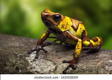 Harlequin poison dart frog, Oophaga histrionica, a small poisonous animal from the jungle of Colombia