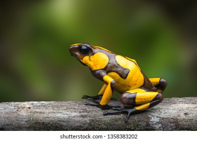 harlequin poison dart frog,Oophaga histrionica. A poisonous animal from the jungle of Colombia. Rain forest amphibian with warning colors