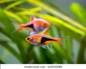 Harlequin rasbora (Trigonostigma heteromorpha) on a fish tank