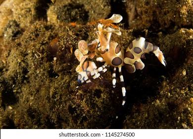 Harlequin Shrimp - Hymenocera elegans