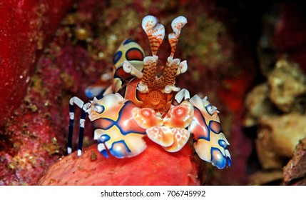 Harlequin shrimp sits a top a star fish he plans on eating