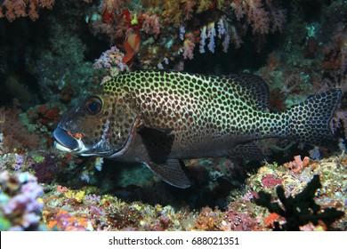 Harlequin sweetlips fish (Plectorhinchus chaetodonoides) underwater in the tropical indian ocean