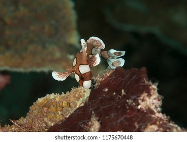Harlequin sweetlips juvenile (Plectorhinchus chaetodonoides) swimming upon corals of Bali. Juveniles mimic the movement of a poisonous flatworm for defence against predators.