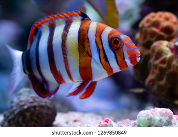 harlequin tusk fish