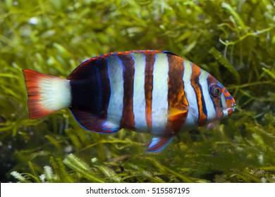 Harlequin tuskfish (Choerodon fasciatus). Marine fish.