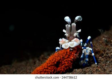Harley Quinn Shrimp