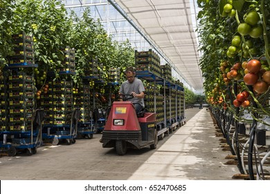 Harmelen, Netherlands - May 23, 2017: Large tomato greenhouse with ripe tomatoes and worker.