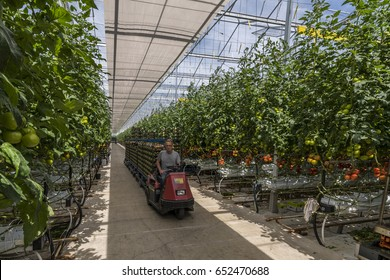 Harmelen, Netherlands - May 23, 2017: Large tomato greenhouse with ripe tomatoes and worker on trolley.