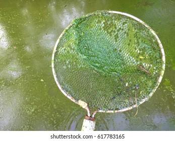 Harmful algae bloom in an aquaculture pond