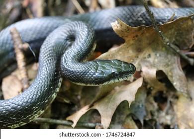 Harmless Black Rat Snake - Pantherophis obsoletus