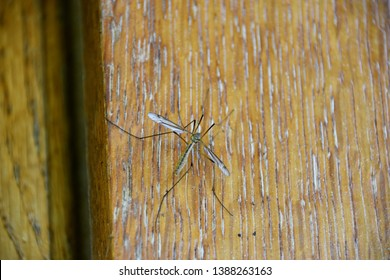 Harmless gnat resting on a wooden surface