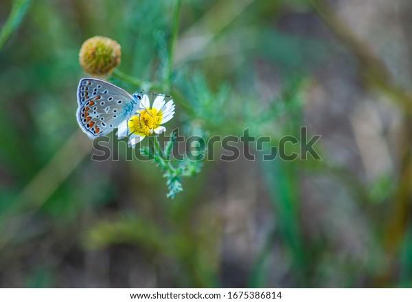 harmony, nectar, insects, biological, biodiversity, invertebrate, europe, small, wings, bug, wildlife of europe, family lycaenidae, closeup, animal, ecology, lepidoptera, lycaenidae, polyommatus, inse
