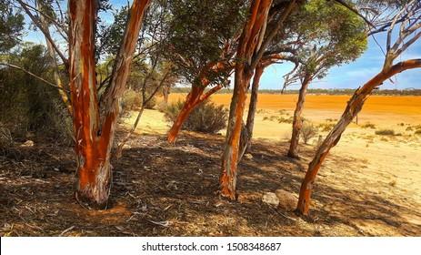 Harms Lake Rest Area in Western Australia with beautiful Salmon gums or Eucalyptus salmonophloia.Salmon Gum are a evergreen tree native to arid regions of Western Australia.