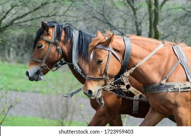 harnessed horses outdoor. Rural landscape in background