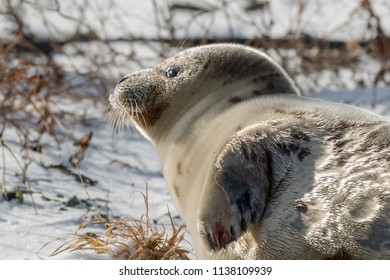 A harp seal leaning on its side with snow and grass in the background. The seal is only showing its head and one flipper.  The seal's head is golden from the sun.