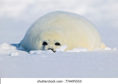 Harp seal (Phoca groenlandica), pup on iceshelf, Canada