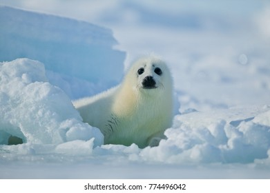Harp seal (Phoca groenlandica) pup on the ice, Gulf of Saint Lawrence, Canada.