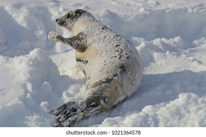 Harp seal playing in the snow