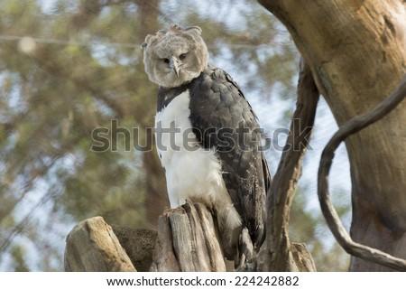 harpy eagle american harpy eagle stock photo edit now 224242882