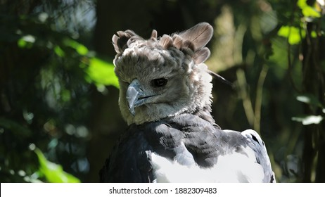harpy eagle with green plants in background, Harpia harpyja