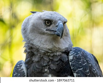 The Harpy Eagle (Harpia harpyja) with green nature bokeh as background