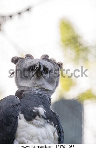 Harpy Eagle Harpia Harpyja Raptor Perched Animals Wildlife Stock Image 1267011058
