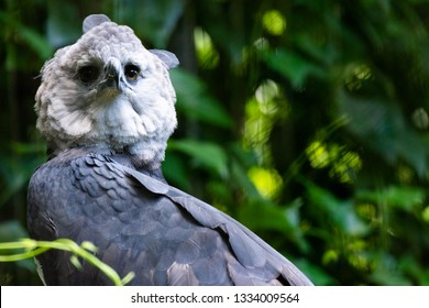 The Harpy Eagle (Harpia harpyja)with green nature bokeh as background, in Parque das Aves (Birds Park) in the city of Foz do Iguacu.
