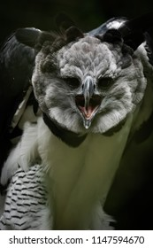 Harpy eagle screaming at the camera