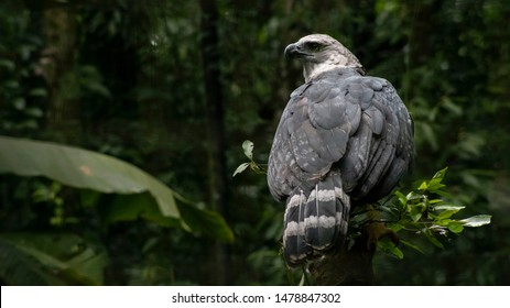 Harpy Eagle sitting in tree