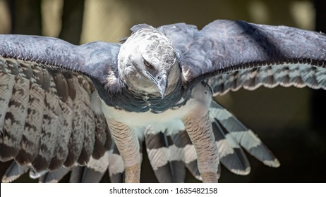 Harpy Eagle of the species Harpia harpyja in a brazilian zoo