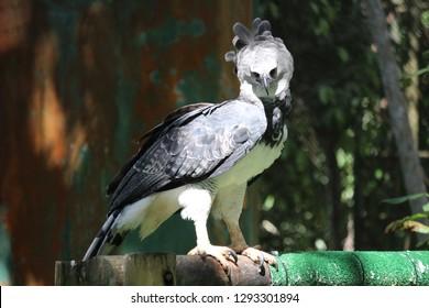 Harpy of Panama