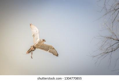 Harrier hawk flying