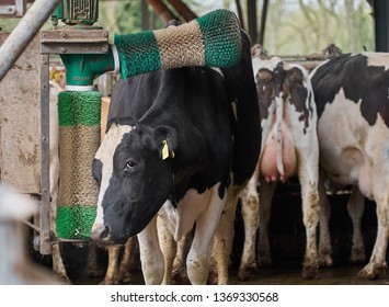 Harrierwurp, Germany - April 13, 2019: black and white cow stands in a barn and cleans her fur with automatic brushes