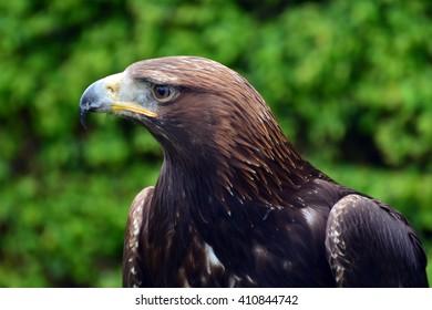 Harris Hawk a bird of prey