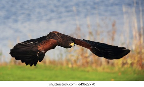 A Harris Hawk in flight, also known as Bay-winged Hawk or Dusky Hawk
