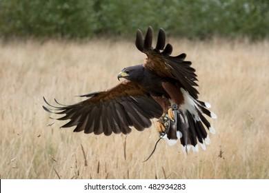 Harris hawk in flight over field.