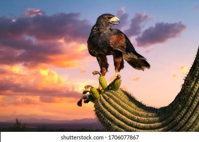 Harris Hawk flying. Isolated hawk against blue sky