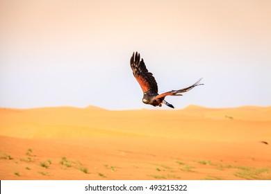 Harris Hawk flying over dunes in Dubai Desert Conservation Reserve, UAE