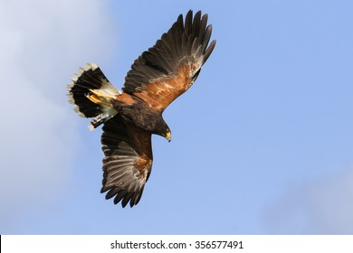 Harris Hawk overhead. A magnificent Harris hawk shows the colours in its plumage to good effect as it soars in a blue sky.