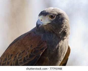 Harris Hawk a powerful bird