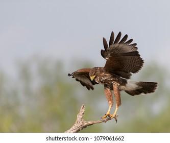 Harris Hawk in Southern Texas USA