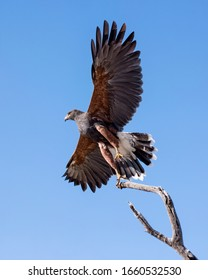 Harris Hawk at Take-Off, Isolated on a Blue Sky