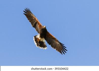 Harris Hawk wheeling in a clear blue sky. A splendid Harris hawk spreads its wings as it wheels through a clear blue sky.