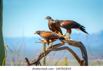Harris Hawks on branch in Sonoran Desert