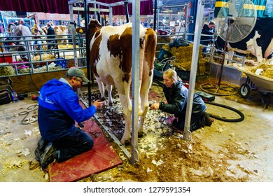 Harrisburg, PA, USA - January 9, 2019: Farmers groom their cow, getting it ready for competition at the PA Farm Show, the largest indoor agricultural exhibition in the nation.