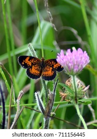 Harris's checkerspot butterfly
