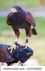 Harris's hawk bird of prey on hand